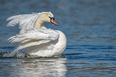 I'm all shook up (Paul Wrights Reserved) Tags: swan swans bird birding birds birdphotography birdwatching action actionphotography beautiful nature naturephotography wildlife wildlifephotography wildanimal wings wing feathers feather animal animalantics animals