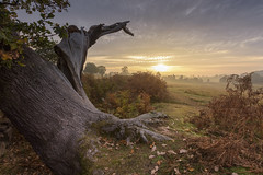 Twisted Tree Sunrise (John__Hull) Tags: twisted tree oak bradgate park ruins mist sunrise leicestershire uk england landscape autumn leaves ferns bracken nikon d7200 sigma 1020mm charnwood forest
