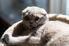 Lounging (n8fire) Tags: piura scottishfold cat fujixt3 fujinonxf56mmf12rapd