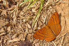 Pseudergolis wedah ssp. wedah - Chiang Dao_20180203_1415_DSC_7813_DxO (I love comments but delete awards - Jan F. Rasmuss) Tags: pseudergolis wedah pseudergoliswedah thailand d800 butterfly butterflies macro closeup insecta lepidoptera rhopalocera nikon janfischerrasmussen janfrasmussen asia southeastasia chiangmai chiangmaiprovince chiangdao nymphalidae nymphalid nymphalids cyrestinae
