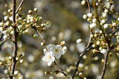 Floraison printanière (Croc'odile67) Tags: nikon d3300 sigma contemporary fleurs flowers nature printemps spring fruhling