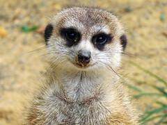 Meerkat (meeko_) Tags: meerkat animals africa zootampa lowry park lowrypark zootampaatlowrypark lowryparkzoo tampa florida explore
