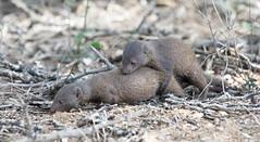 Dwarf Mongoose mating -9397 (Theo Locher) Tags: dwarfmongoose helogaleparvula zoogdieren mammals krugernationalpark kruger southafrica zuidafrika copyrighttheolocher