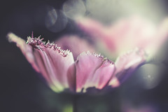 discoteque (rockinmonique) Tags: muttartconservatory flower bloom blossom petal tulip spring light bokeh macro pink frilly pretty moniquewphotography canon canont6s tamron tamron45mm copyright2019moniquewphotography