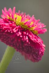 Gänseblümchen (BMelzer Fotografie) Tags: blüte blume frühling macro