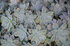 Graptopetalum paraguayense (Mother-of-pearl-plant / Madreperla) (PriscillaBurcher) Tags: graptopetalumparaguayense graptopétalo sedumweinbergii plantamadreperla plantafantasma crasa crásula suculenta succulent motherofpearlplant ghostplant madreperla crassulaceae hojas leaf leaves dsc0193