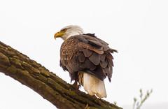 Fashion Statement (114berg) Tags: 01jan19 bald eagles sunset park mississippi river rock island illinois