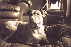 Dallas <3 (hcorleybarto) Tags: amstaff rescue dog