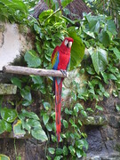 Cozumel, Mexico, Caribbean Cruise, Chocolate Factory, Red Macaw (Mary Warren 12.1+ Million Views) Tags: cozumelmexico caribbeancruise hollandamerica nature fauna bird red macaw flora plants green leaves foliage philodendron coth5