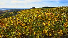 October Vines (Steven Tyrer) Tags: laube france champagne grapes autumn plants vine golden