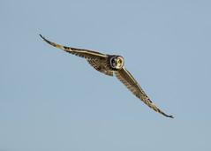 short eared owl over Teesside (alderson.yvonne) Tags: bird owl flight teesside cleveland shorty shorteared daytime