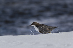 White-throated dipper (A blond-Tess) Tags: birds birdlife bird dipper whitethroateddipper strömstare wildlife wintary outdoorphotography nature naturephotography naturallight natur wildlifephotography birdwatching ilovenature canonphotography 7d tamron