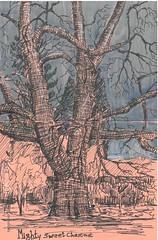 Mighty Sweet Chestnut. (Alextree) Tags: sweet chestnut tree rspb lodge