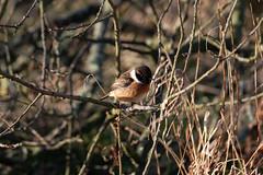 Stonechat (Liam Waddell) Tags: stonechat small bird grass saltmarsh irvine bogside sssi ayrshire scotland