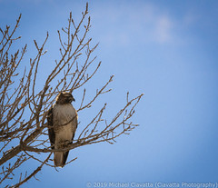 Falcon (Ciavatta Photography) Tags: hawk rockymountainarsenal colorado bird wildlife tree sky