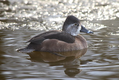 Ring-Necked Duck (careth@2012) Tags: duck nature wildlife winter frozen lake britishcolumbia icy ice nikon d3300 nikond3300 ringneckedduck