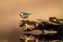 Blue tit (Gertj123) Tags: bird water wildlife winter netherlands nature holterberg arjantroost hide canon reflection bokeh animal avian common ornithology feathers brown
