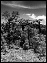 Baobabs / Баобабы (dmilokt) Tags: природа nature пейзаж landscape лес forest дерево tree парк park dmilokt чб bw черный белый black white