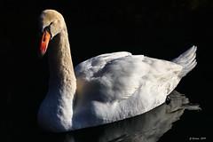 Sa Majesté... His Majesty... (gerardcarron) Tags: animaux canon80d cygne faune lacaiguebellette lake nature oiseaux savoie water