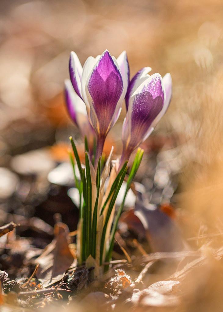 64d855622762 A Sign of Spring (mclcbooks) Tags  flower flowers floral macro closeup crocus  crocuses