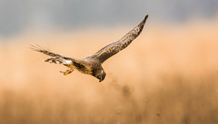 On the Hunt (scott5024) Tags: northern harrier cook county birds raptors prey
