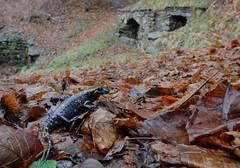 Salamandra salamandra (aspisatra) Tags: salamandra anfibio ticino salamandre