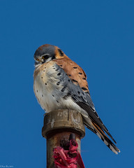 Flagpole sitting (Fred Roe) Tags: nikond7100 nikonafsnikkor200500mm156eed nature national naturephotography wildlife wildlifephotography animals birds birding birdwatching birdwatcher raptor falcon americankestrel falcosparverius colors outside flickr peacevalleypark