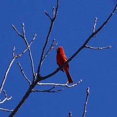 TIMG28018 (Timothy Harry David Gallant) Tags: pentaxks2 stratfordontario backyardphotography northerncardinal brightredbird beautifulbird
