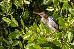 Ardeidae - Ixobrychus exilis (Pericles Brea Torrens) Tags: pelecaniformes ardeidae ixobrychusexilis leastbittern petitblongios martinetito martinetico avetoromenor avetorillopanamericano montecristi repúblicadominicana laespañola lahispaniola p51 l7 dsc0659