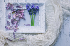 3/30: Out with the old, in with the new... (judi may) Tags: april2019amonthin30pictures theweeklymonthlychallenge petals flowers muscari grapehyacinths blue purple green framesandfrippery frame tabletopphotography stilllife floral canon5d 50mm