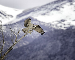 Osprey with Catch (raineys) Tags: osprey bitd nature wildlife wings mountains snow inyocounty california specanimal