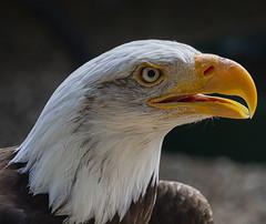 Bald E (ORIONSM) Tags: bald eagle bird prey raptor portrait beak eye nature animal olympus