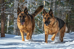 Picture of the Day (Keshet Kennels & Rescue) Tags: adoption dog ottawa ontario canada keshet large breed dogs animal animals pet pets field nature photography winter snow german shepherds two pair siblings forest woods