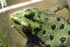 SELFIE (juanmarco83) Tags: frog crapaud grenouille macro nature selfie