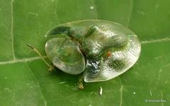 Tortoise Beetle, Cassidinae (Ecuador Megadiverso) Tags: andreaskay cassidinae chrysomelidae coleoptera ecuador focusstack id575 jardinbotanicolasorquideas leafbeetle mite tortoisebeetle