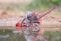 The serious business of enjoying a good bath (tspine) Tags: northerncardinal santaclararanch texas