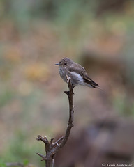 Spotted Flycatcher (leendert3) Tags: leonmolenaar southafrica krugernationalpark wildlife nature birds ngc coth5 naturethroughthelens