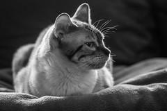 Kira-2 (jsvachon) Tags: animal animals animaux brun cat cats chat chats feline kira pet pets beige brown félin