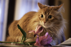 Mandy Monday: Smell the Flowers (Photo Amy) Tags: adorable aminal canon50d cat cuddly cute cuteness ef50mm18 eartufts feline fluffy fur furry ginger kitten longhair longhaired orange pet precious red tabby toefur whisker whiskers