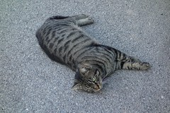 DSC02022 Chico, Mallorca (Fernando Sa Rapita) Tags: sarapita mallorca sony sonyrx100 sonydscrx100 cat gato mascota pet