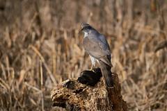 Astore con Folaga (_lucamure) Tags: bird wildlife buzzard eagle wild sony alpha a99 a9 sigma lens poiana astore uccelli foto natura caccia fotografica hunting
