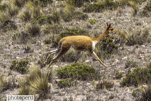 Arequipa, vicuña
