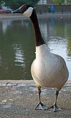 Canada Goose (D_Alexander) Tags: uk england london southlondon southeastlondon blackheath bird goose canadagoose