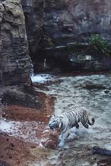White Bengal (FlyNerdy) Tags: zoo tampa florida bigcats animals wanderlust travel nature whitetiger bengaltiger tiger