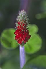 Blutklee (olds.wolfram) Tags: klee blutklee pflanze blume blüte wiese rot grün trifolium incarnatum rosenklee italienischer faboideae