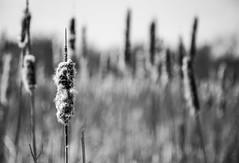 Cattails (lǝᴉuɐp) Tags: cattail cattails bw blackandwhite blacknwhite wetlands frozen ice snow canoneos6d canon eos 6d canon24105f4l canon24105 f4l f4