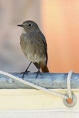 Black Redstart (f) (Roy Lowry) Tags: blackredstart praiadefaro phoenicurusochruros