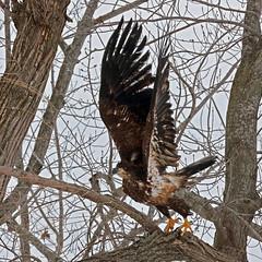 Juvenile Bald Eagle-37 (Scott_Knight) Tags: nature wildlife canon minnesota bald eagle scott knight juvenile