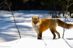 FOX (sebsphotosadv) Tags: gatineaupark redfox renard nikond3s nikon200500mmf56 wildlifephotography wildlife snow neige winter hiver naturephotography photoanimale