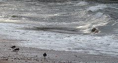 oystercatchers (Rourkeor) Tags: ayrshire culzean firthofclyde haematopus mzuikodigitaled12‑100mm140ispro m43 maybole nationaltrustforscotland omdem1markii olympus scotland uk wildlife beach birds foam glistening glow lightshadows mft microfourthirds nature oystercatchers pebbles reflections sand sea shore water waves southayrshire unitedkingdom gb
